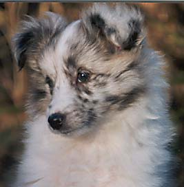Image of our Shetland Sheepdog Bridget as a puppy