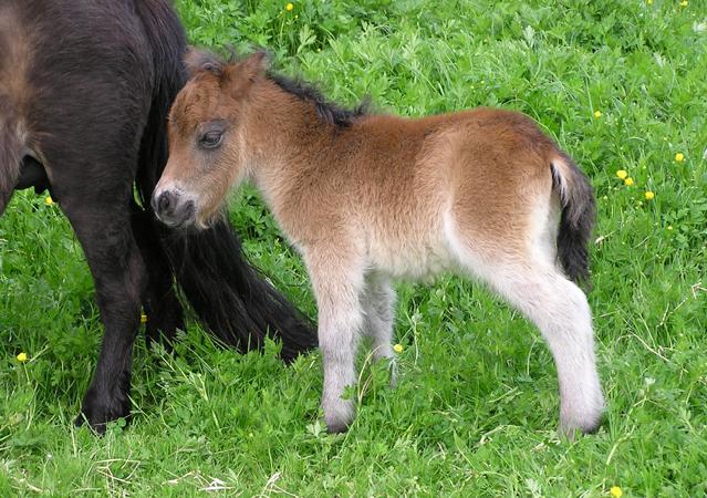 Portma Zathe Shetland Ponys Veulens 2013